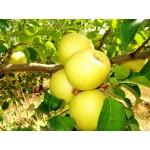 Яблоня золотое превосходное