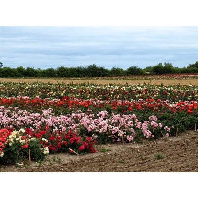 плетистые розы купить в алматы саженцы роз вьющиеся питомник растений PLANTS