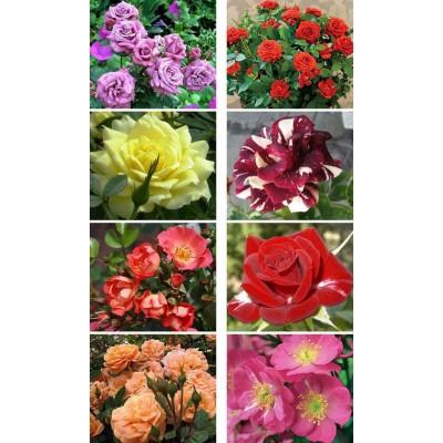 Саженцы роз купить в алматы корни миниатюрных бардюрных роз
