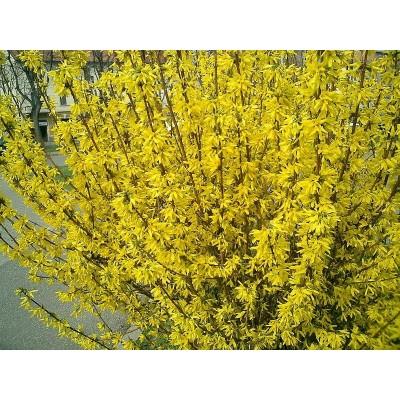 Саженцы форзиции купить в Алматы лиственный кустарник в Казахстане питомник растений PLANTS
