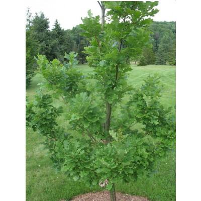 Дуб черешчатый обыкновенный дерево купить саженцы в алматы в казахстане питомник растений PLANTS
