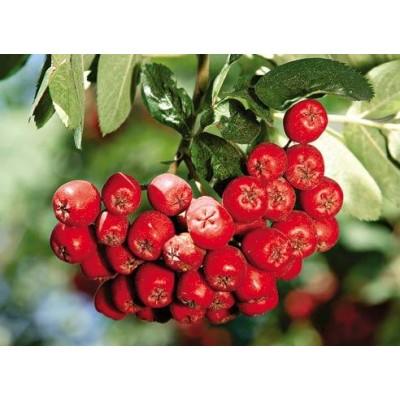 рябина красная обыкновенная купить саженцы в алматы питомник PLANTS