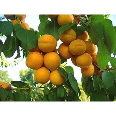 Абрикос купить в Алматы саженцы плодовых деревьев питомник растений PLANTS