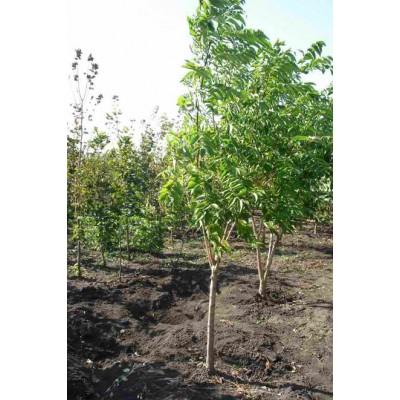 Бархат амурский купить в Алматы| Саженцы лиственных деревьев питомник PLANTS