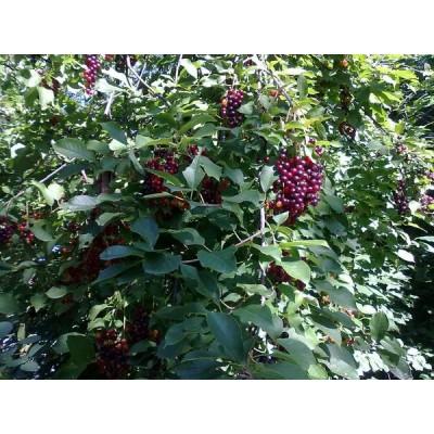 Саженцы черемухи купить в алматы питомник растений в Казахстане компания PLANTS