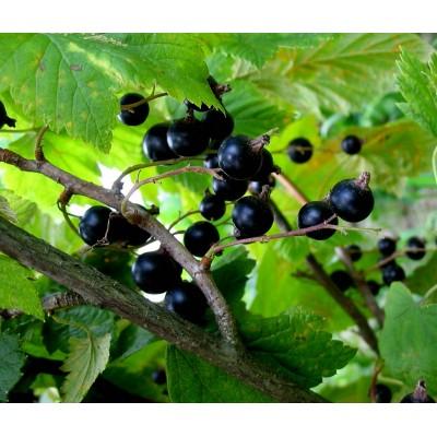 саженцы черной смородины купить в алматы низкие цены питомник PLANTS