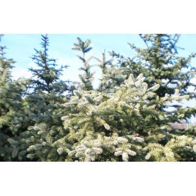 Ель канадская сизая купить в алматы в Казахстане отправка по регионам оптовикам скидки питомник растений PLANTS