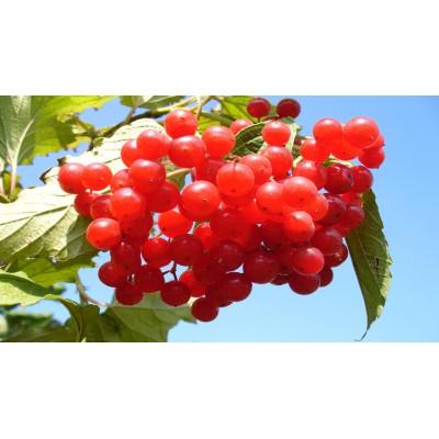 Саженцы калины красной купить в алматы в Казахстане плодовые деревья питомник растений PLANTS