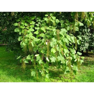 Саженцы Катальпа великолепная купить в алматы лиственные деревья питомник растений PLANTS