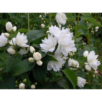 Саженцы чубушника жасмина купить в алматы в Казахстане питомник растений PLANTS