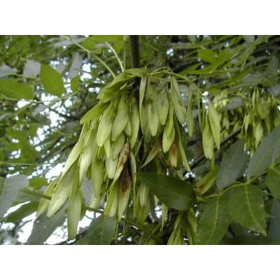 Дерево Ясень купить саженцы в алматы в Казахстане отправка по регионам оптовикам скидки