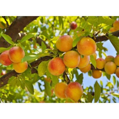 Саженцы персика купить в алматы низкие цены питомник PLANTS