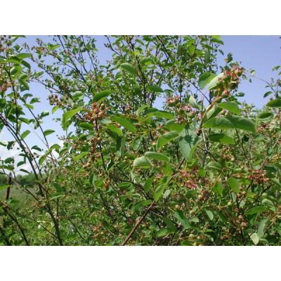 Саженцы ирги купить в алматы.отправка по казахстану питомник PLANTS