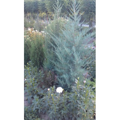 можжевельник скальный  голубой skyrocket в Алматы|купить в питомнике PLANTS