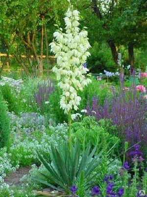 Вечнозеленый цветок Юкка Нитчатая купить в алматы саженцы